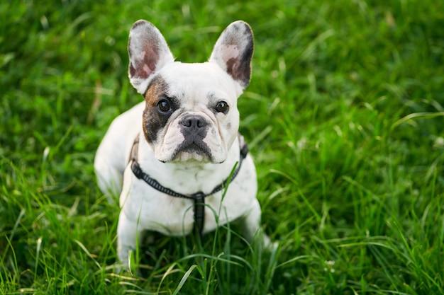 Franse bulldog zittend op groen gras buiten