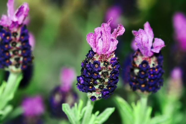 Franse lavendel bloemen