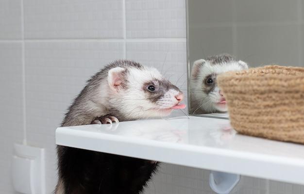 Fret (bunzing) kijk naar spiegel in de badkamer