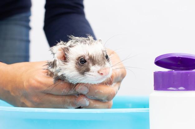 Fret (bunzing) wassen in water op een witte achtergrond