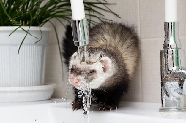 Fret (bunzing) wast en drinkt water in de badkamer