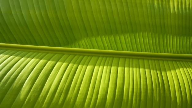 Fris lichtgroen bananenblad met licht en schaduw