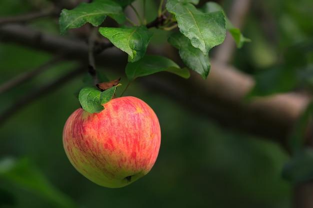Frisse en sappige rode groene appel verlicht door zonlicht op tak met groene bladeren in appelboomgaard