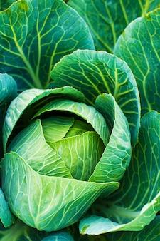 Frisse groene kool. groenteteelt concept.