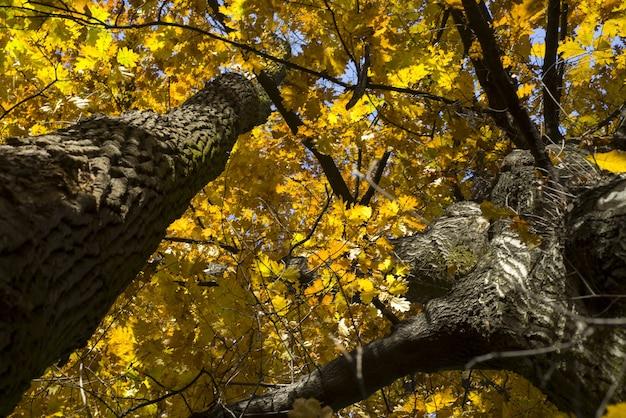 Frog's eye view weergave van gele herfst bomen op een zonnige dag