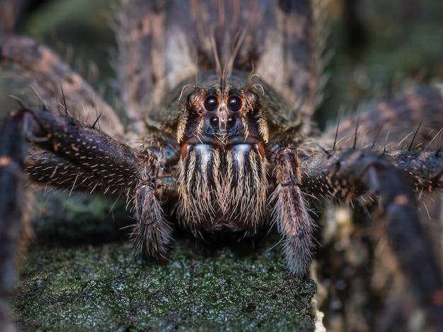 Frontale blik van een tarantula 1