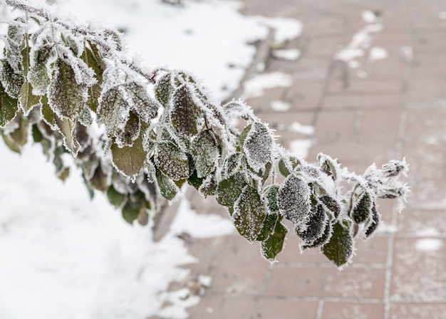 Frosted planten
