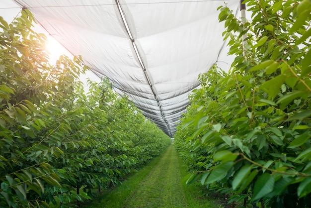 Fruitboomgaard met anti-hagelgaas