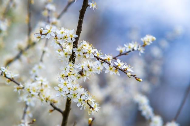 Fruitboomtakjes met bloeiende witte en roze bloembladbloemen in lentetuin.