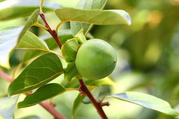 Fruitkaki het groene rijping hangen onder bladeren op een boomtak