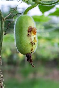 Fruitvliegwesp die een jonge wintermeloenpompoen op de boerderij beschadigt