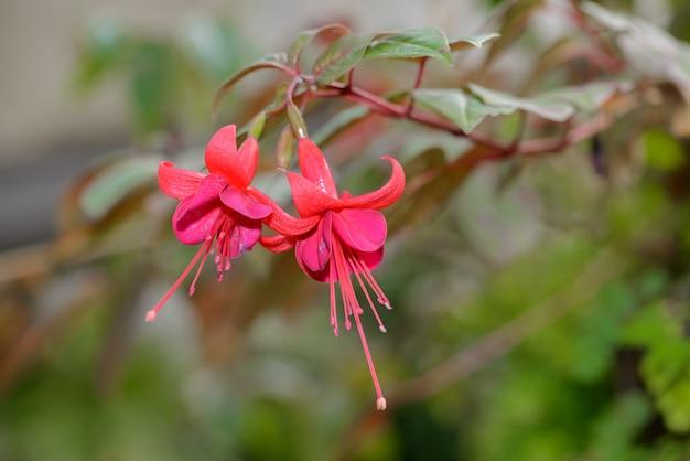Fuchsia magellanica bloem