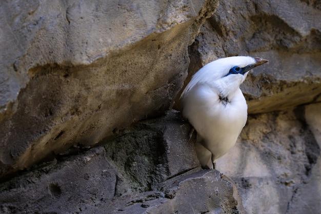 Fuengirola, andalusië/spanje - 4 juli: bali starling (leucopsar rothschildi) in het bioparc fuengirola costa del sol spanje op 4 juli 2017