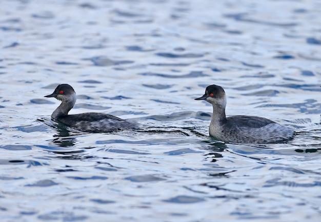 Fuut met zwarte hals of lange oren (podiceps nigricollis) in winterkleed zwemmen in het water