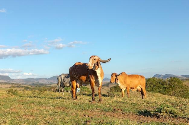 Gado in pastagem de fazenda de guarani