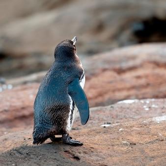 Galapagos pinguïn (spheniscus mendiculus), tagus cove, isabela island, galapagos islands, ecuador