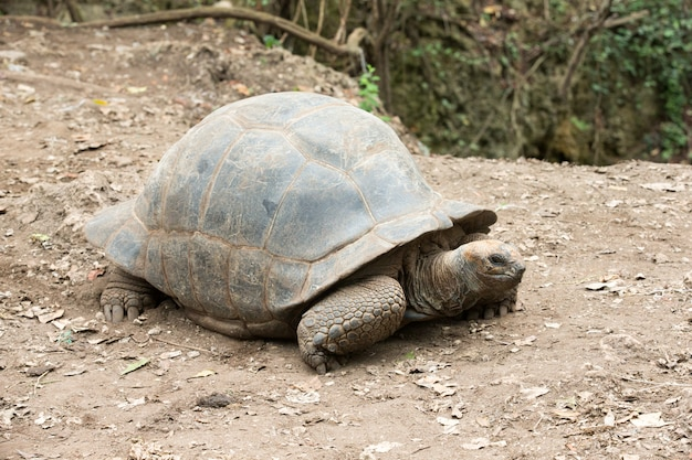 Galapagos-schildpad in een natuurgebied