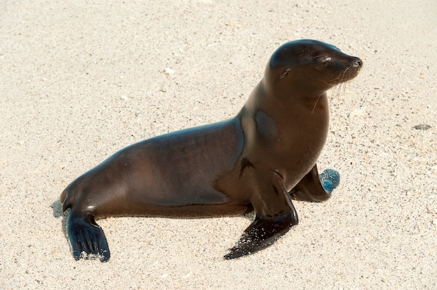 Galapagos zeeleeuw (zalophus californianus wollebacki) op het strand, darwin bay, genovesa island, galapagos islands, ecuador