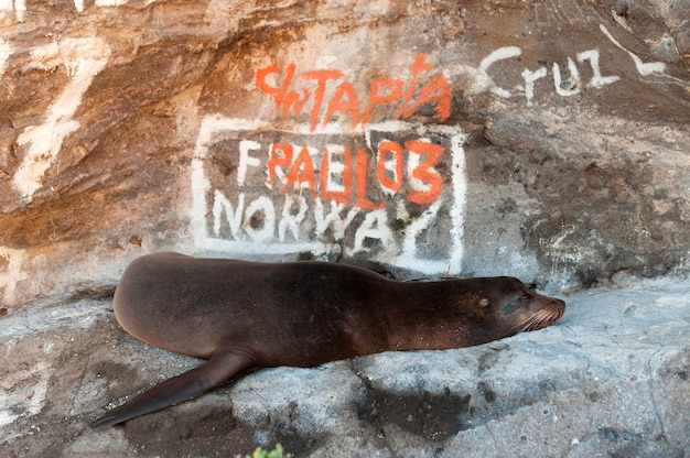 Galapagos zeeleeuw (zalophus californianus wollebacki) voor graffiti overdekte rots, tagus cove, isabela island, galapagos eilanden, ecuador