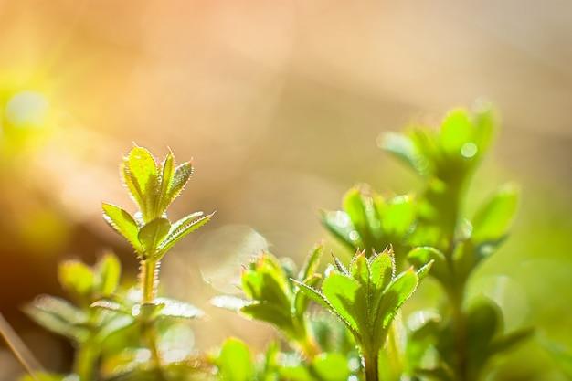 Galium aparine cleavers, clivers, cleavers (galium aparine) gebruik in de geneeskunde voor de behandeling van aandoeningen gras close-up