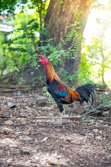 Gamecocks in thailand, mooie kleur. abstract rood hanengevecht, kip.