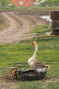 Gans in een ecologische boerderij