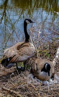 Gans op een nest met eieren op een eiland tussen bomen