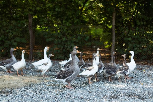 Ganzen die het boerenerf binnenlopen. wilde dieren in het dorp. familie van ganzen.