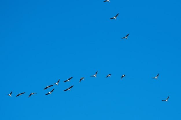 Ganzen vliegen in een wig naar het zuiden op blauwe hemelachtergrond