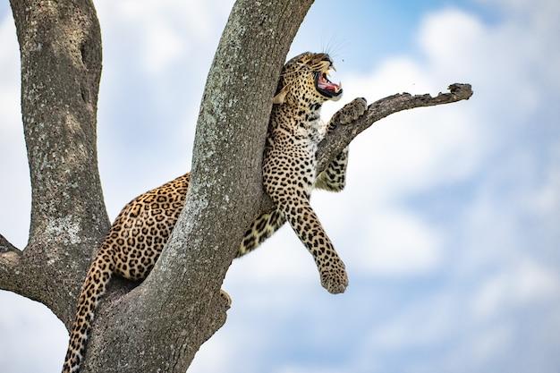 Gapende luipaard
