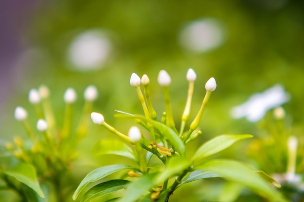 Gardenia kaapse jasmijn gardenia jasminoides
