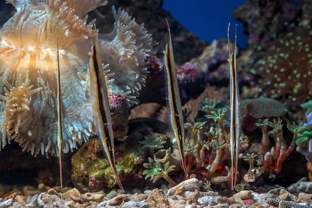 Garnalenvissen zijn op zoek naar voedsel