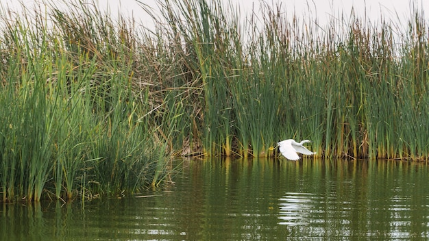 Garza blanca-vogel die over een lagune vliegt omringd door totoraplanten in pantanos de villa chorrillos lima peru
