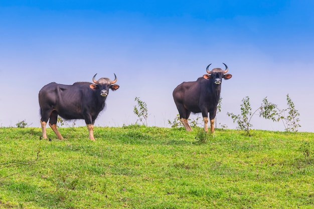 Gaur in nature (non-hunting area, khao phaengma, thailand)