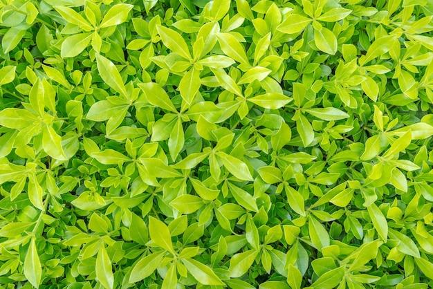 Gazon met groene grasachtergrond