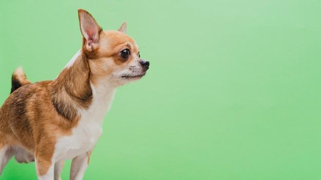 Gealarmeerde hond op groene exemplaar ruimteachtergrond