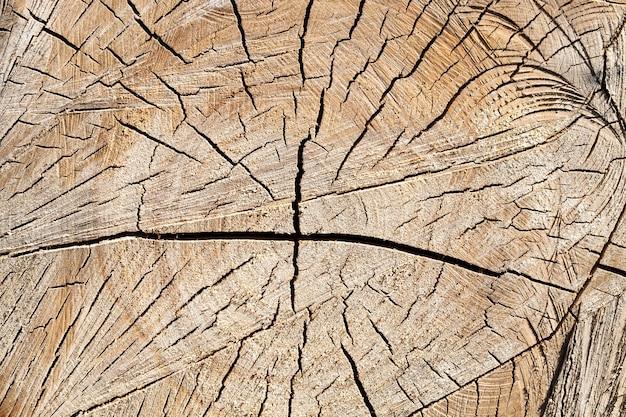 Gebarsten berkenstam met jaarringen, houtoogst
