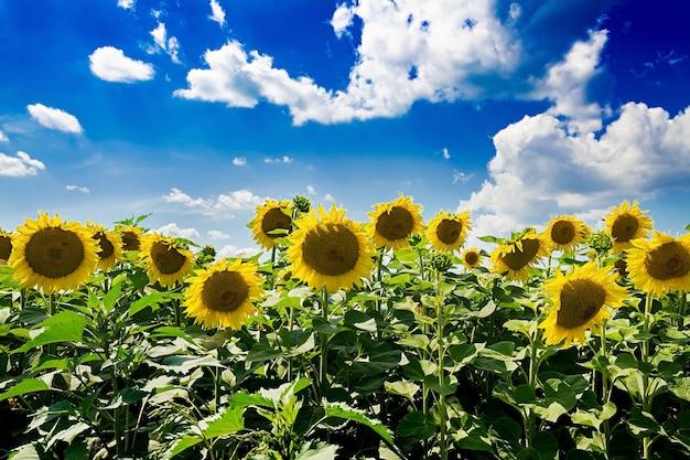 Gebied met zonnebloemen tegen de blauwe hemel. prachtig landschap