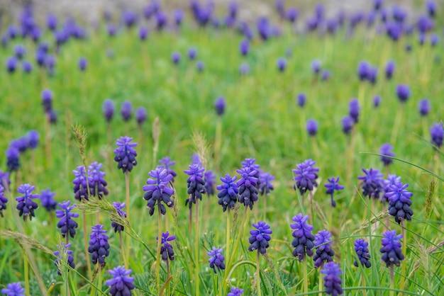 Gebied van blauwe bloemen op groen gras met bergen