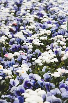 Gebied van blauwe pansies