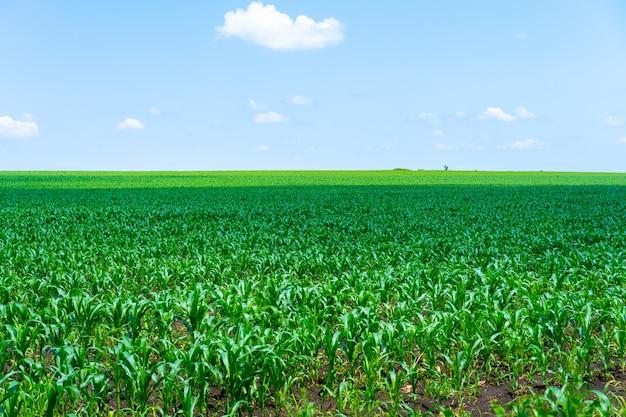 Gebied van bloeiende maïs gaat over de horizon