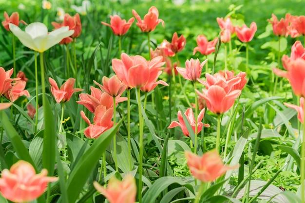 Gebied van bloeiende roze tulpen. bloem achtergrond. zomertuin landschap. zachte focus