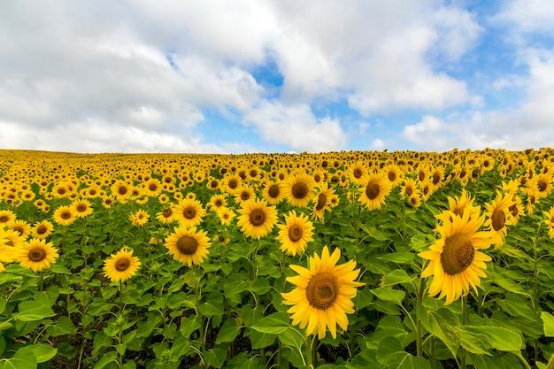 Gebied van bloeiende zonnebloemen in zonnige zomerdag.