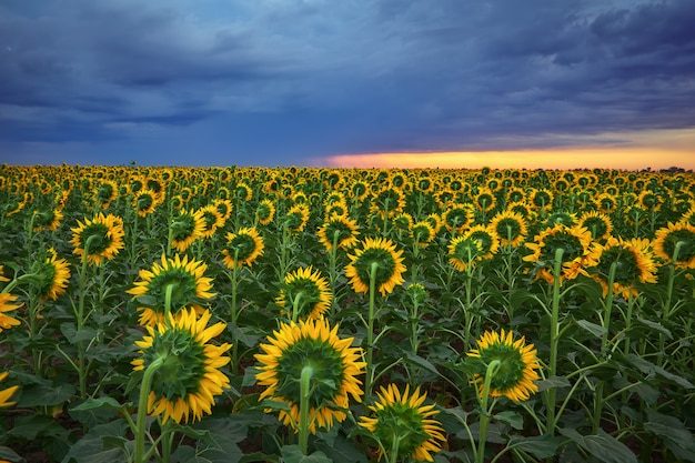 Gebied van bloeiende zonnebloemen op een achtergrondzonsondergang. mooie zomerse landschap