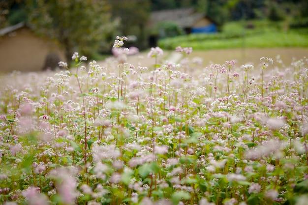 Gebied van boekweitbloemen in ha giang, vietnam. ha giang is beroemd om het wereldwijde geologische park van dong van karst plateau.