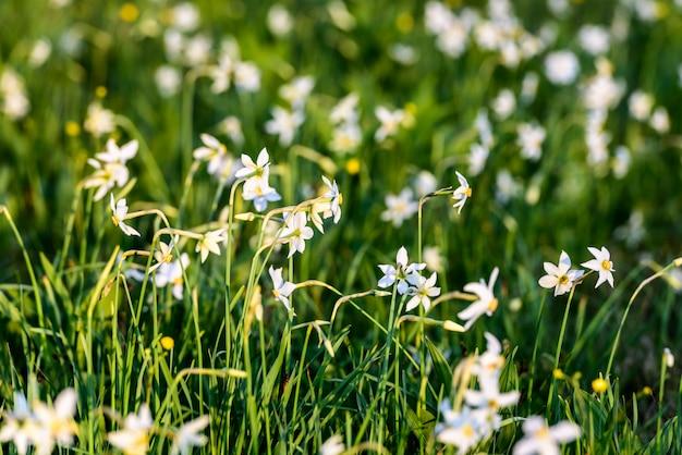 Gebied van de lente wildflowers. wild narcissus stellaris.