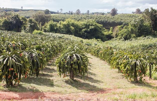 Gebied van draak-fruitplantage in thailand, dit is favoriete fruit in azië