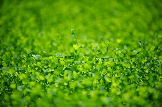 Gebied van een groene kruidnagel. klaverblaadjes drie blad. dag van st patrick concept.