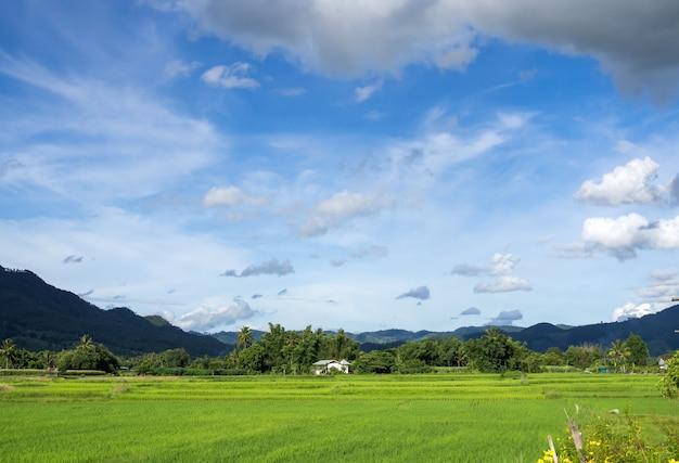 Gebied van fesh groene rijst met wolk en blauwe hemel in aardlandschap