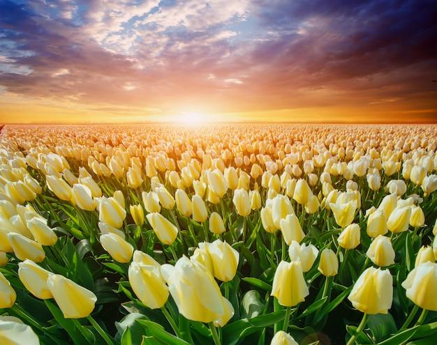 Gebied van gele tulpen bij zonsondergang.